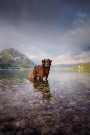 小溪里的切萨皮克海湾寻回犬图片