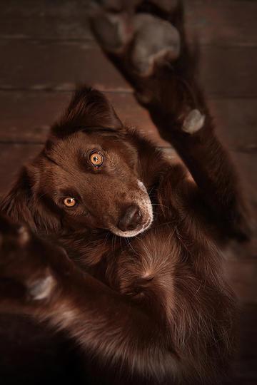 玩耍的切萨皮克海湾寻回犬图片