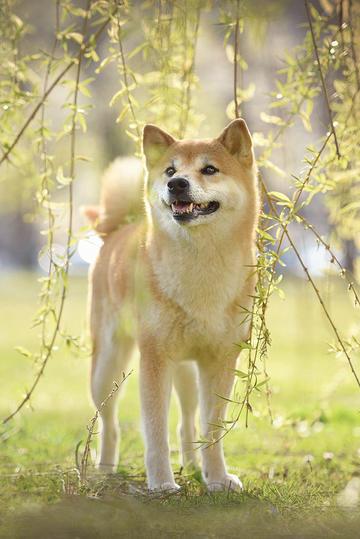 柳树下的柴犬图片