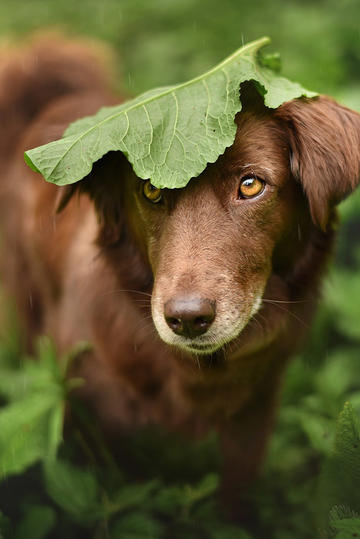树叶下躲雨的寻回犬图片