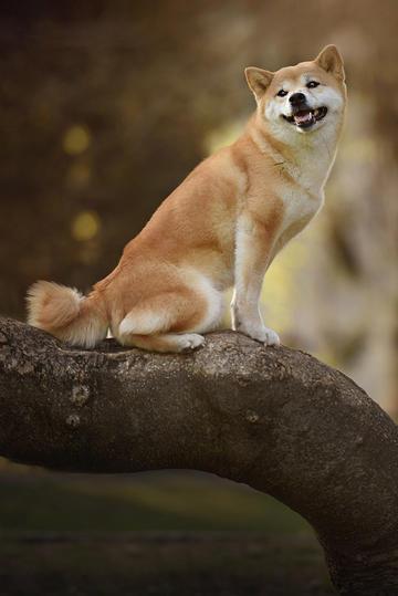 咧嘴笑的柴犬图片