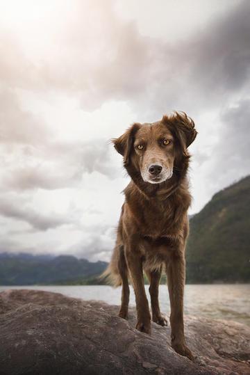 湖边的切萨皮克海湾寻回犬