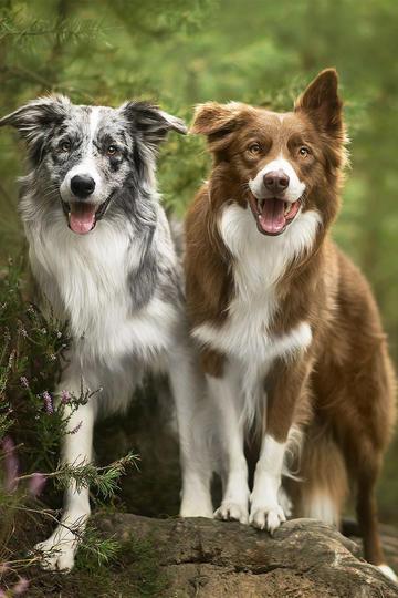 开心的牧羊犬狗狗图片