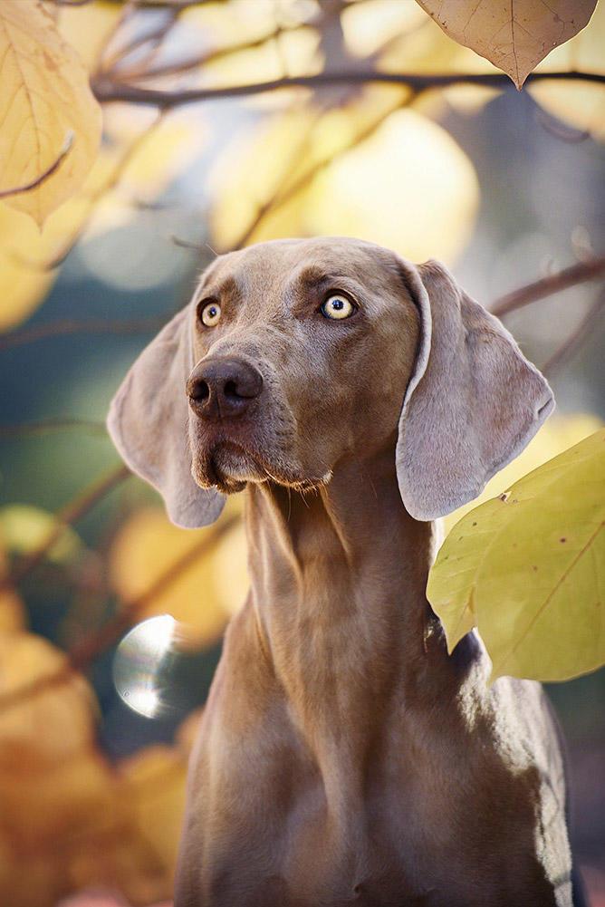 威玛猎犬狗狗图片
