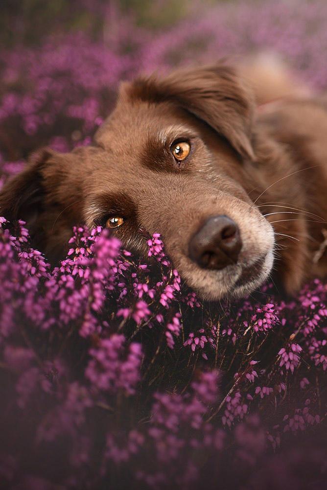 躺在花丛里的寻回犬图片