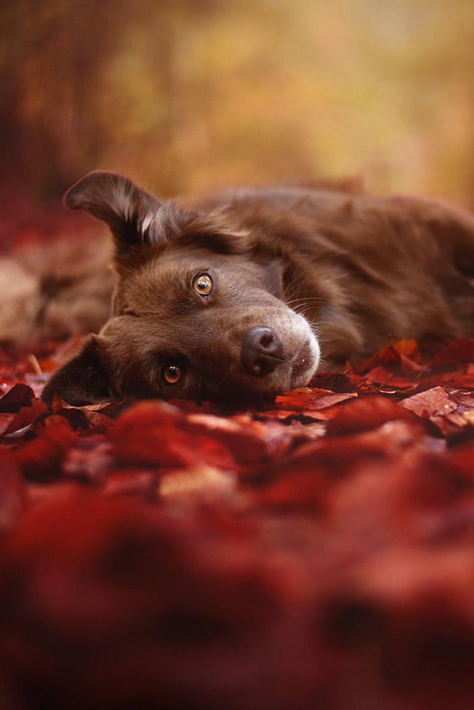 躺在落叶下的寻回犬图片