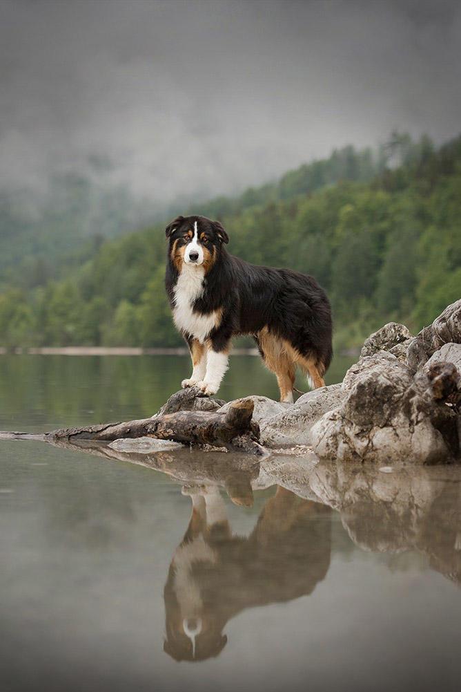 水边的牧羊犬图片