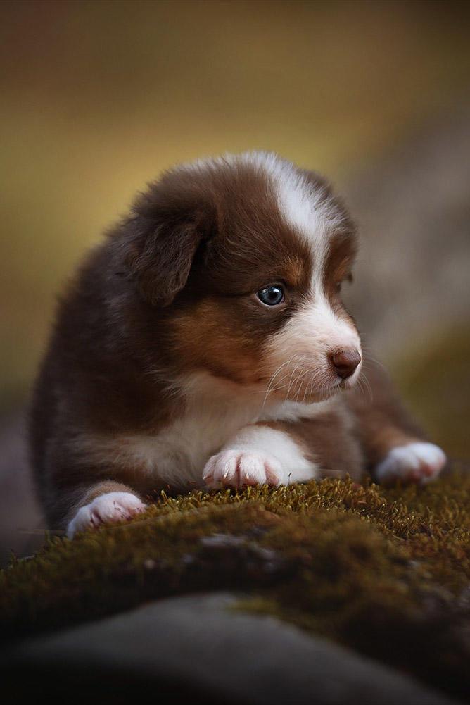 澳大利亚牧羊犬幼犬图片
