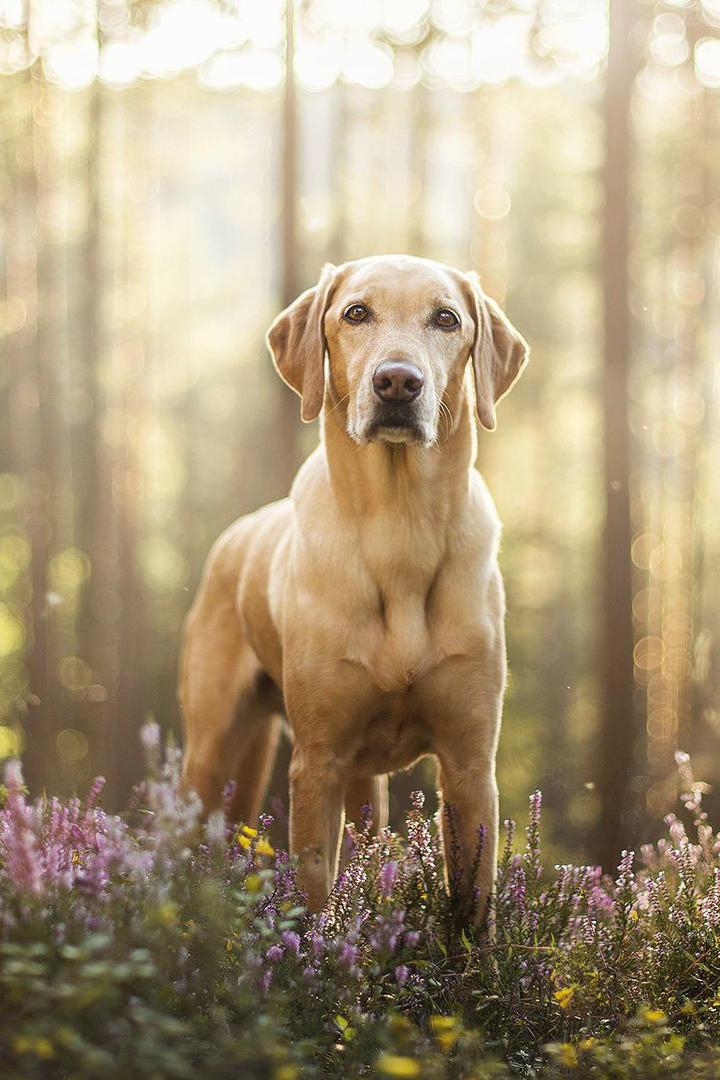 树林里的拉布拉多犬图片