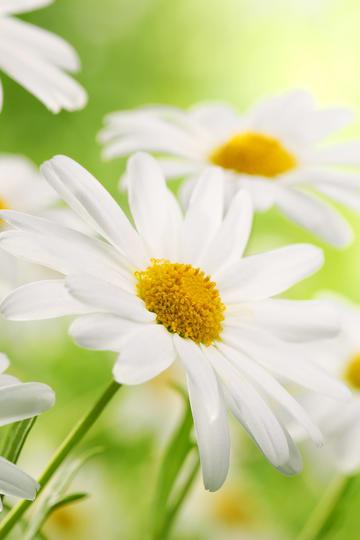 唯美雏菊高清鲜花壁纸