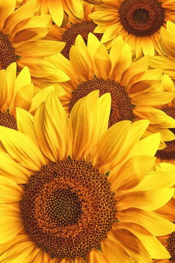 唯美向日葵高清壁纸