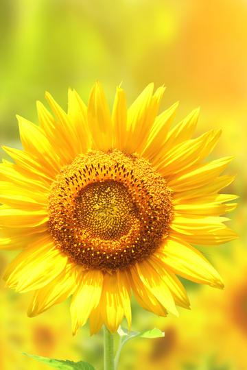 唯美向日葵高清4k壁纸
