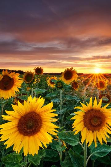 夕阳下的向日葵高清壁纸