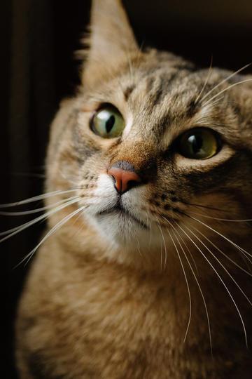 狸花猫图片
