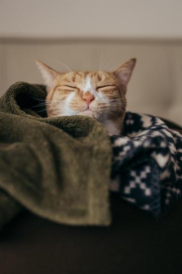 盖着毛毯的猫咪图片