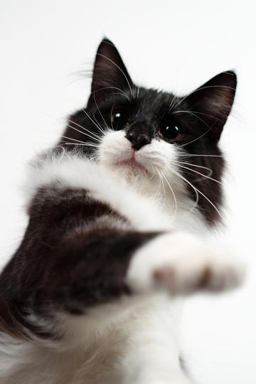 黑白挪威森林猫图片