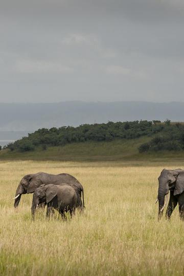 唯美野生动物草地上成群大象图片