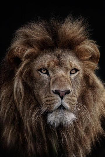 唯美野生动物凌乱的狮子图片