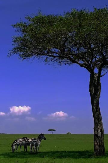 唯美野生动物大树下的斑马图片