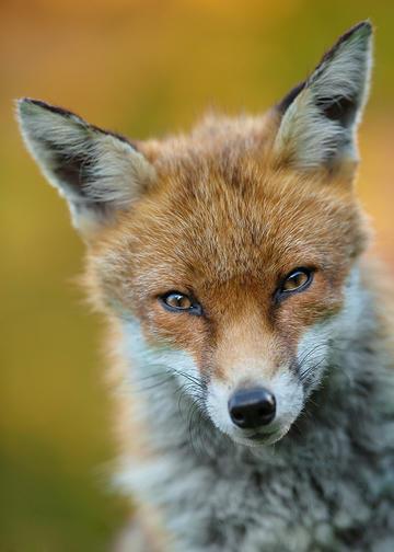 唯美野生动物凝视的狐狸图片