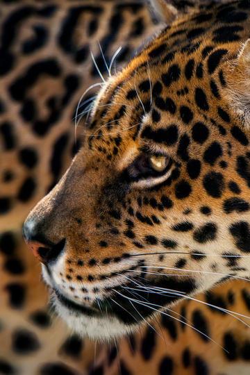 唯美野生动物豹子高清特写图片