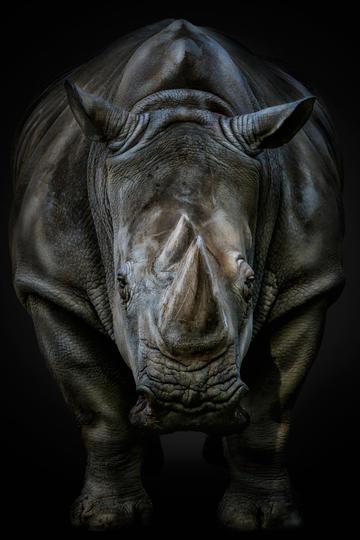 唯美野生动物犀牛黑白高清图片