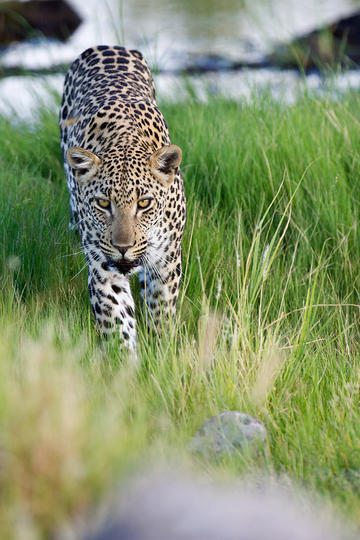 唯美野生动物绿草地上的豹子图片