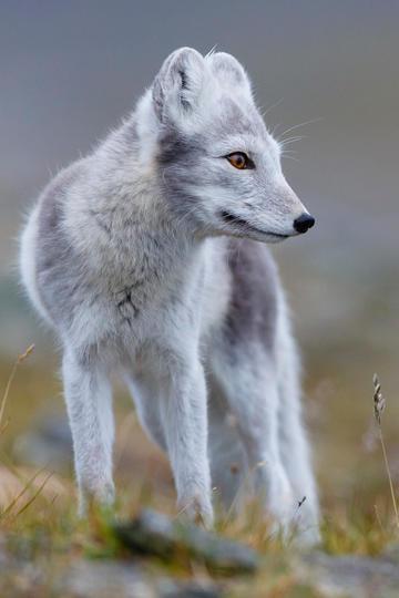 唯美野生动物狐狸图片