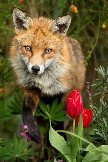 唯美野生动物花丛中的狐狸图片