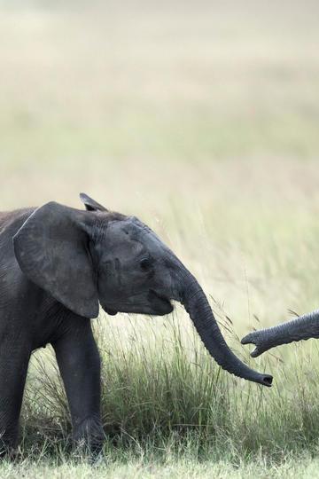 唯美野生动物嬉戏的大象图片