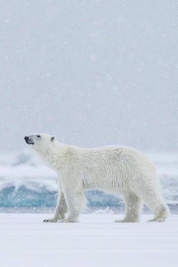 唯美野生动物冰雪里的北极熊图片