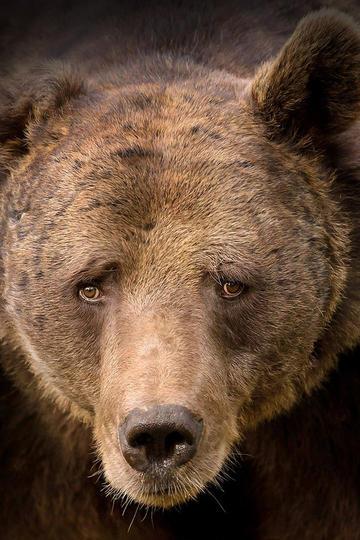 唯美野生动物棕熊图片