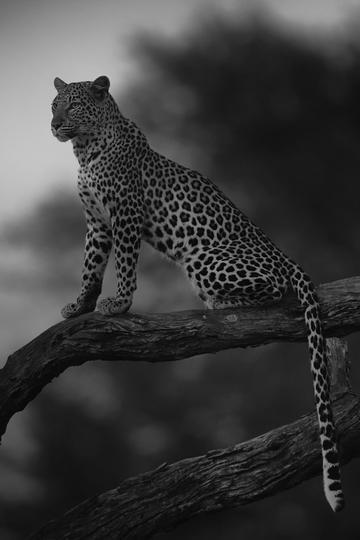 唯美野生动物黑白照片树枝上的豹子图片