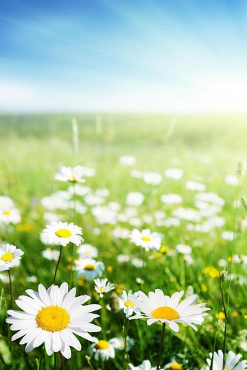 开满雏菊的草里鲜花图片