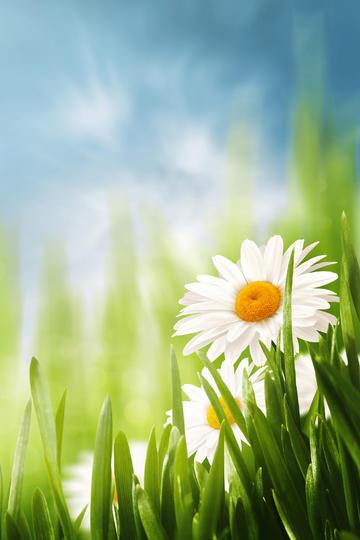 阳光下的大雏菊唯美风景图片
