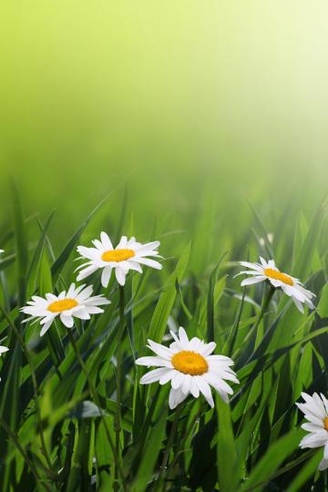 四朵小雏菊唯美鲜花图片