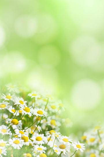 雏菊鲜花背景图片