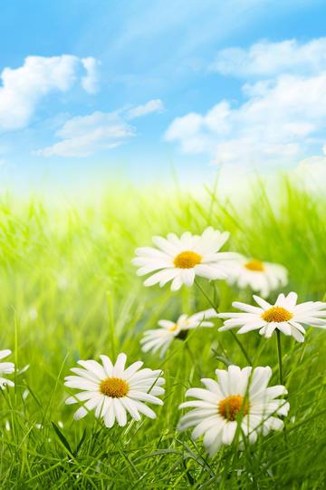 高清雏菊唯美风景图片