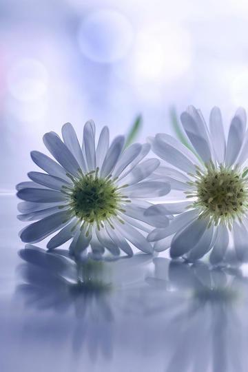 高清唯美白菊花图片