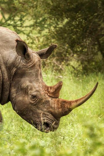野生犀牛头部特写动物摄影图片