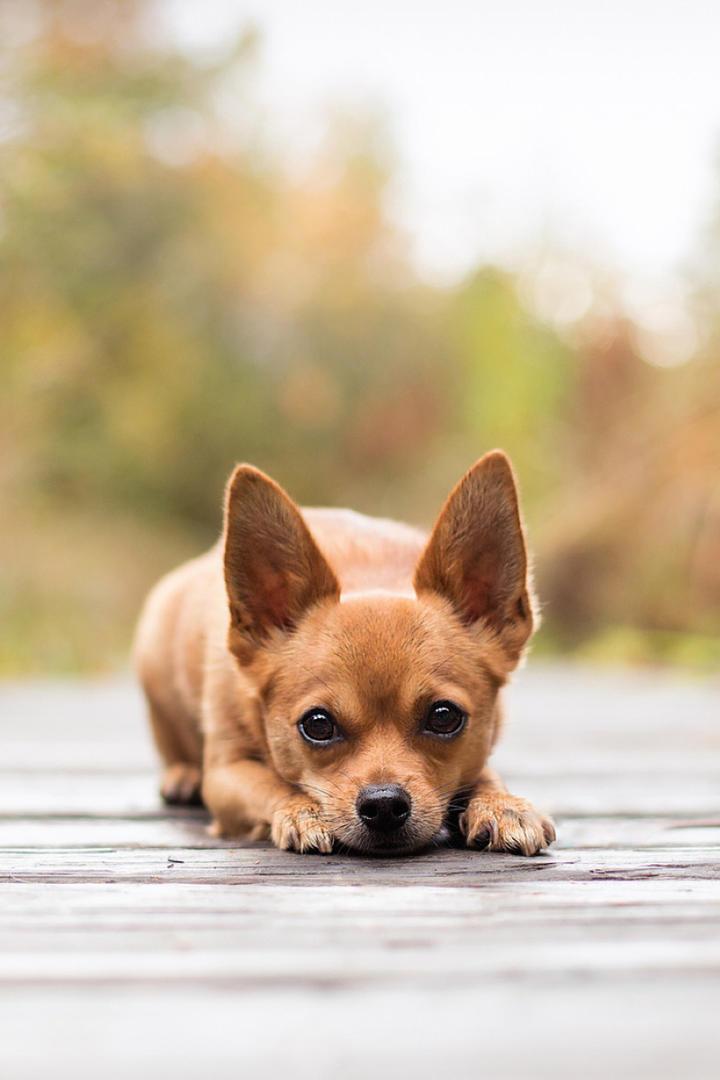 趴在地上的可爱小狗动物图片