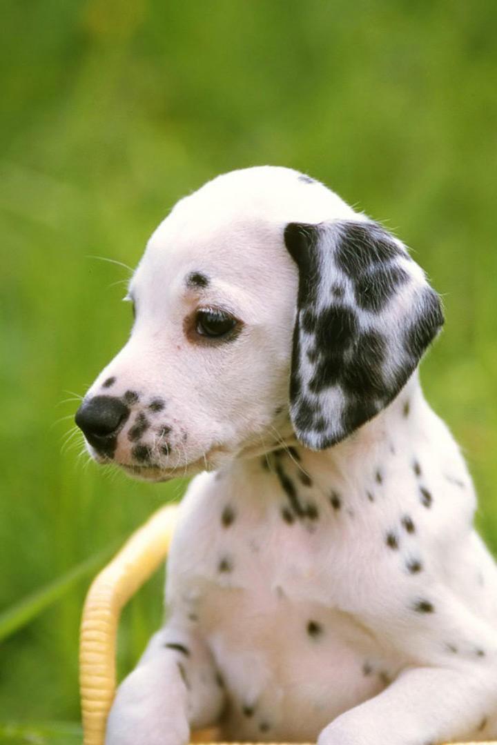 可爱的斑点狗动物摄影图片