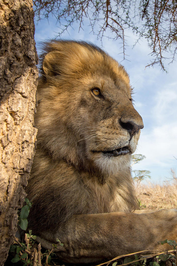 高清霸气的雄狮脸部特写动物摄影图片