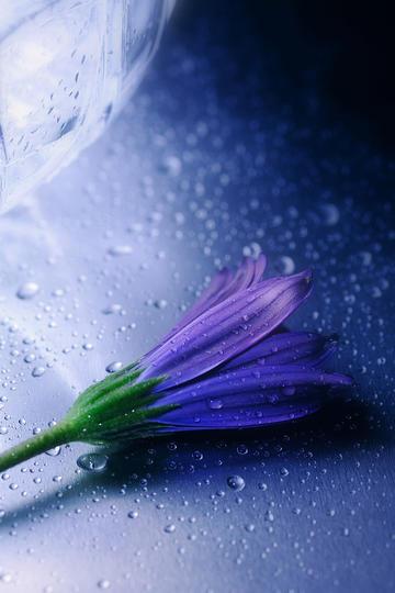 雨滴落在紫色花朵上鲜花图片
