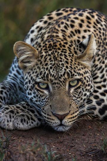 高清豹子脸部特写动物摄影