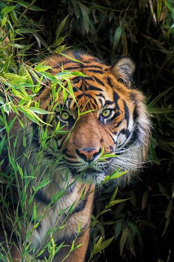 丛林里的虎视眈眈动物摄影