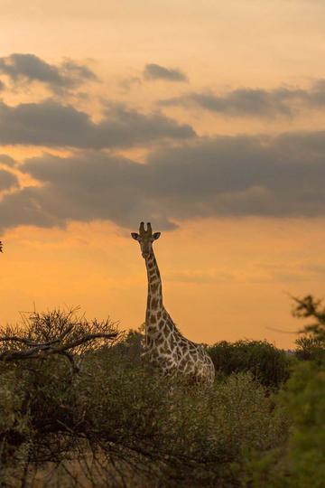 草原上的长颈鹿动物图片