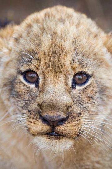 可爱的小狮子特写动物图片