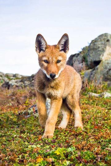 可爱的埃塞俄比亚狼动物图片