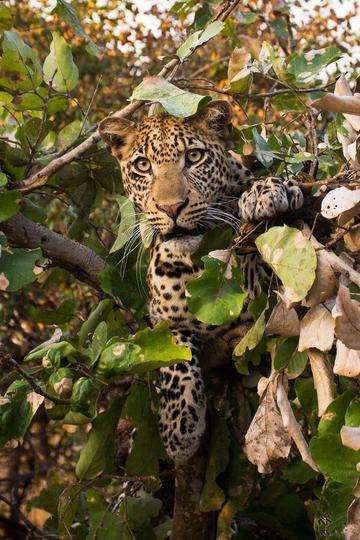 躲在树上的豹子野生动物图片